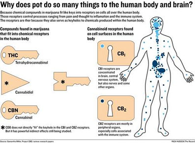 https://idrasilrx.com/wp-content/uploads/2018/04/cannabinoids-body-and-brain-397x292.jpg